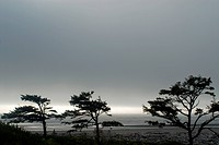 Wind beaten trees and gray weather at Kalaloch Beach, Olympic National Park, UNESCO World Heritage Site, Washington State, United States of America, N...