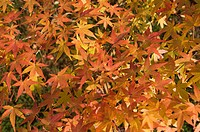 Maple leaves, garden of Nanzenji Temple, Kyoto, Kansai Western Province, Honshu, Japan, Asia