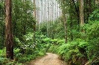 Road through rainforest, Yarra Ranges National Park, Victoria, Australia, Pacific