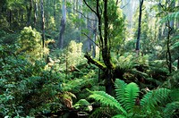 Rainforest, Dandenong Ranges, Victoria, Australia, Pacific