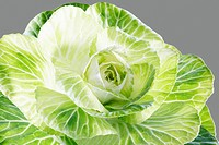 Cabbage close_up