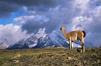 Guanaco llama and Cuernos del Paine, Torres del Paine National Park, Patagonia, Chile, South America
