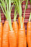 Close up of orange carrots with green tops against bamboo mat