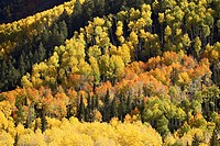 Fall color pattern with aspens and evergreens, near Ouray, Colorado, United States of America, North America