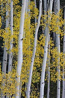 Aspen trunks and fall foliage, near Telluride, Colorado, United States of America, North America