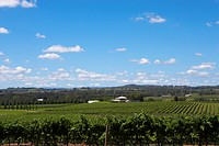 Vineyard in Hunter Valley, Australia