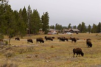 Bison Herd near Lake Village, Yellowstone National Park, Wyoming, USA.