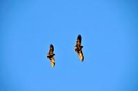 10852327, Africa, Black Crow, Cape Town, Corvus ca