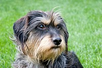 Mixed breed wirehaired dachshund and terrier 6-year old male dog playing in the grass on a summer afternoon