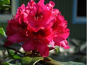Rosa Rhododendron, Flower, Close_Up