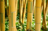 10853697, Bamboo, Detail, Close_up, nature, plant,