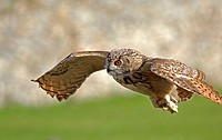 10853889, Eagle owl, Bubo bubo, Animal, Animals, b