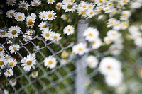 Prästkragar vid staket närbild. Close_up of oxeye daisy flowers by chainlink fence.