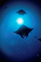 Giant Manta Rays