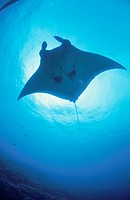 Giant Manta Rays (thumbnail)