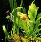 Close_up of fish in aquarium, front view guldfisk med kompis i akvarium