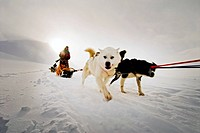 Elevated view of dogs in snowcapped landscape Hundspann på Svalbard.