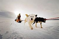 Elevated view of dogs in snowcapped landscape Hundspann på Svalbard.