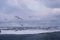Flock Of Herring Gulls