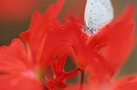 Butterfly On Geranium Flower