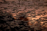 Water Lilies In Evening (thumbnail)