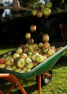 Skottkärra med äpplen. Close_Up Of Wheelbarrow Of Apples