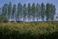 A Yellow Flower Field And Trees In France