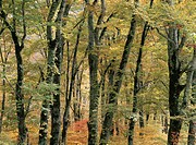 The Beech Wood Turned Yellow