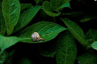 Snail On Leaf (thumbnail)