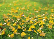 Yellow Leaves Of The Ginkgo Tree On A Lawn