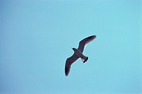 Flying Herring Gull