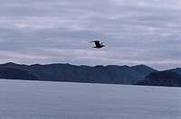 Herring Gull And Mountains