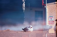 Herring Gull And Building
