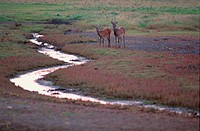 Two Deers Near Stream