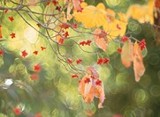 Yellow Leaves (thumbnail)