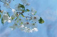 Cherry Tree (thumbnail)