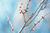 Flowering Branch Of Plum Tree