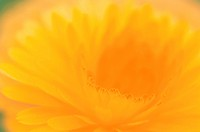 Petals Of Marigold Flower