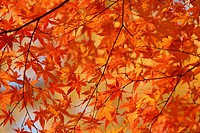 Maple Leaves On Branch