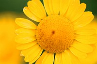 Circular Yellow Daisy