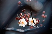 Branch Of Plum Flowers