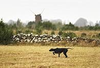 Side view of dog in field Svart pointer som står och pekar mot fågel under rapphönsjakt med Öländsk väderkvarn i bakgrunden