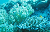 Coral Which Carried Out Chlorosis