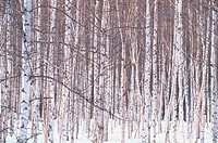 Birch Tree Forest In Winter (thumbnail)