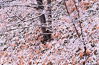 Snow On Branches And Leaves