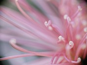 The Core Of The Flower Of A Chrysanthemum