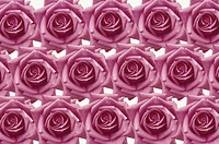 The Sheet Of A Pink Rose
