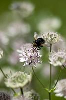 Close_up of Fly feeding on flower Humla
