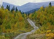 Elevated view of road in forest Liten grusväg slingrar fram genom höstgul fjällbjörkskog, med fjället Skierfe i fonden, Lappland