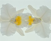 Cattleya